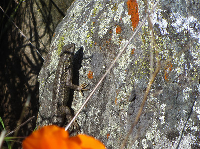lizard on a lichen covered rock