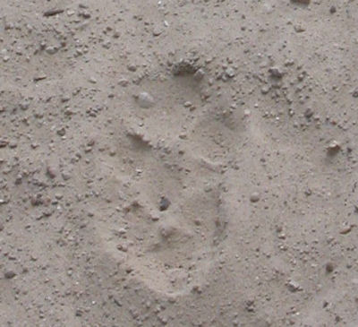 Coyote Footptint Close-up