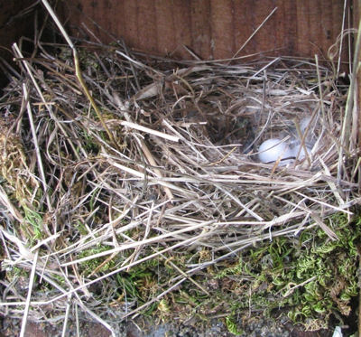 Titmouse nest